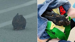 Saddleridge Fire: Rabbit with singed fur flees from Porter Ranch fire zone, taken to hospital   ABC7