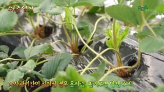 딸기 키높은 수경재배-4.아주심기