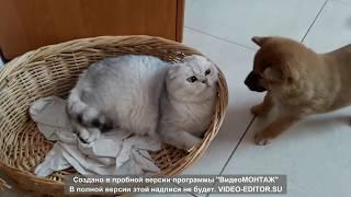 Шотландские котята, зеленоглазая серебристая шиншилла, щенки шиба