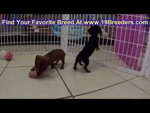 Miniature Dachshund, Puppies, Dogs, For Sale, In Chicago, Illinois, IL, 19Breeders, Rockford, Peoria