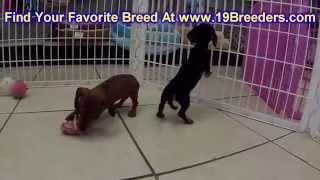 Miniature,dachshund, Puppies, For, Sale, In, Aurora, Illinois, Il, Moline, Belleville, Lombard, Deka