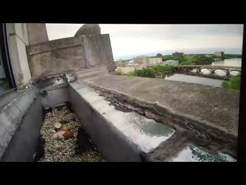 First peregrine falcon hatches