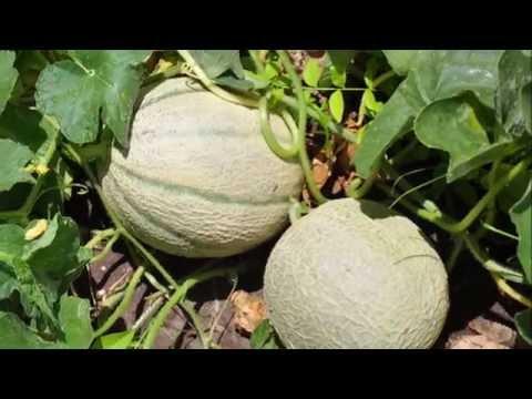 Coltivare il melone cantalupo youtube for Melone coltivazione