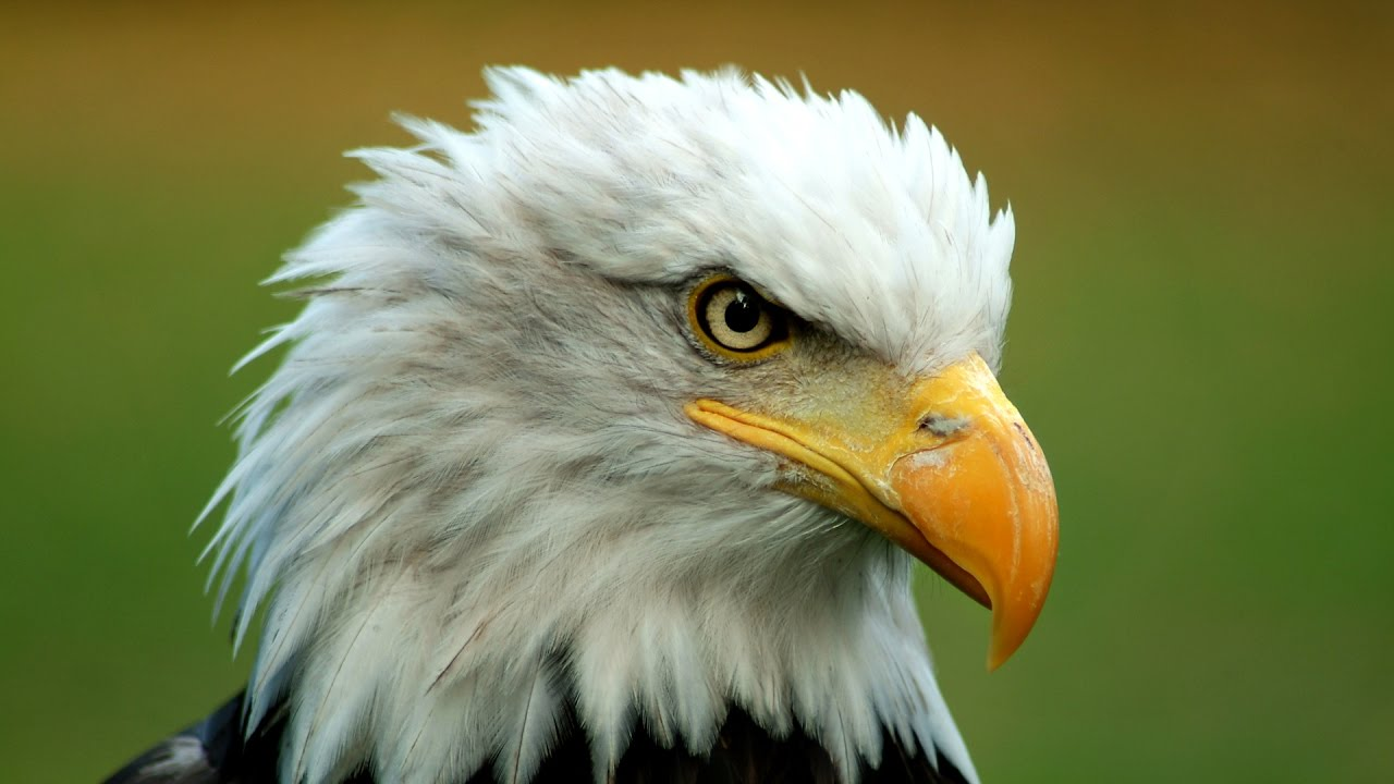 top 10 facts you didn t know about bald eagles youtube