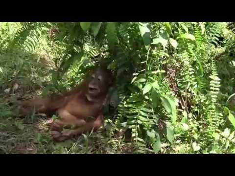 Adopted orangutan Dodot (Pasir Panjang, Borneo)