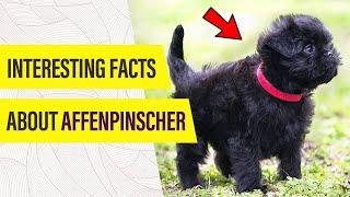 Affenpinscher Dog  WHAT MAKES THEM UNIQUE?