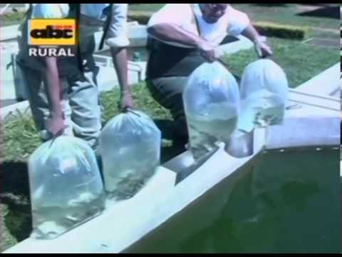 Preparaci n de estanques para peces youtube for Cria de tilapia en estanques plasticos
