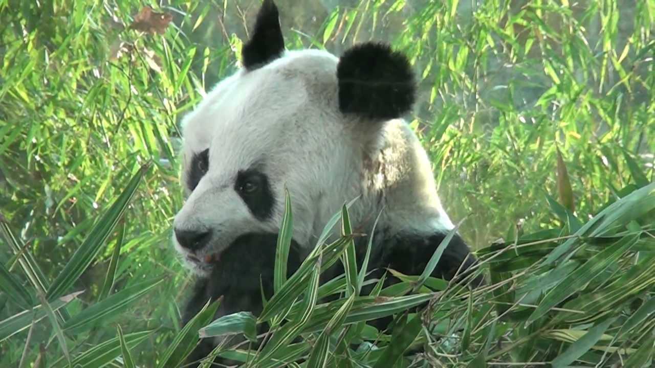 Pandabeer Bao Bao in Berliner ZOO  YouTube