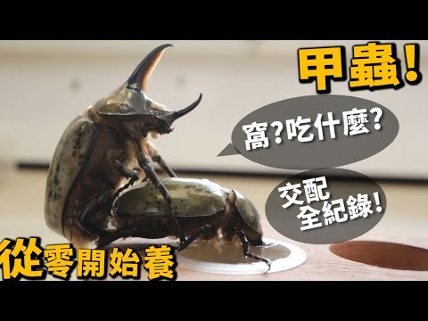 【從零開始養】甲蟲(基礎篇)!食物?窩?叫聲?完整交配紀錄!【許伯簡芝】