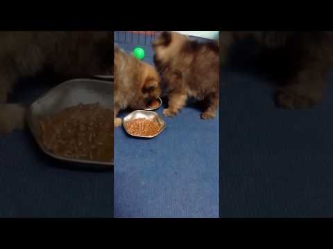 Pomeranian jealous and eating food ( dog vlog nepal ) funny  Pomeranian video