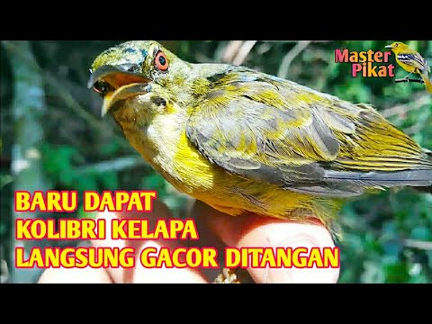 🔴Pikat Kolibri Kelapa - Burung Kolibri Kelapa Jantan Masih Muda