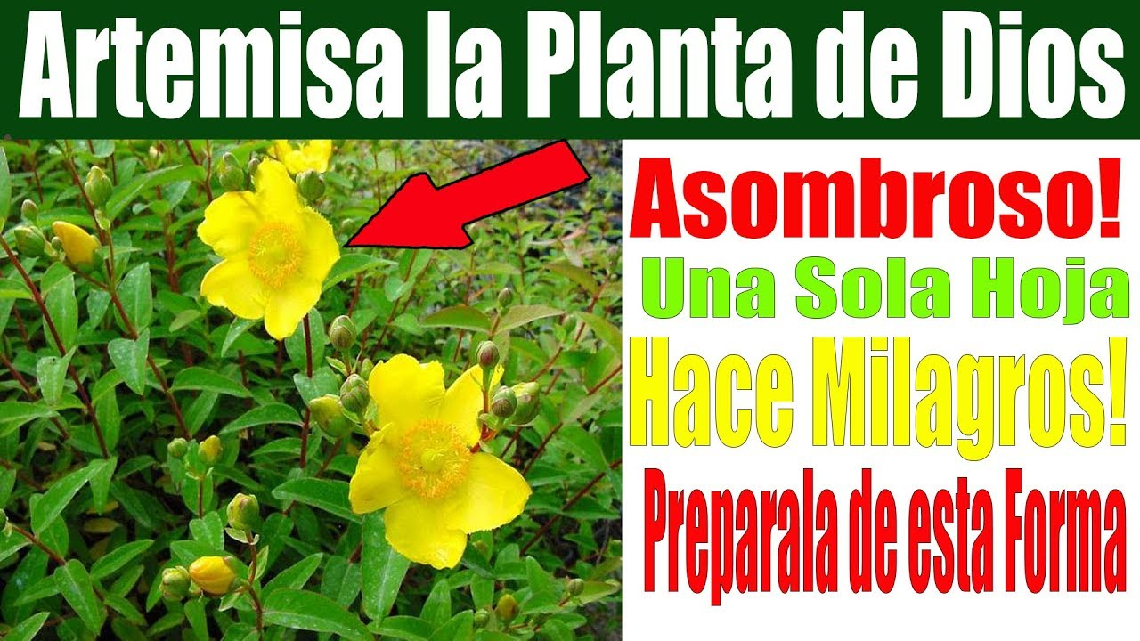 Es llamada la Planta de Dios porque Una sola Hojita de Artemisa o Hierba de San Juan, Hace Milagros