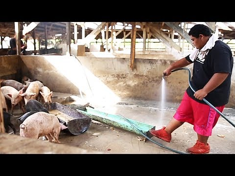 HIKI NŌ Episode #903 – Young Pig Farmer | Program