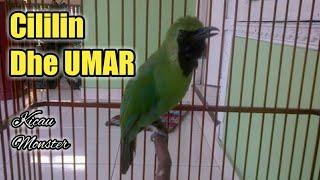 Download lagu Cucak ijo Nembak Cililin Dhe Umar MP3