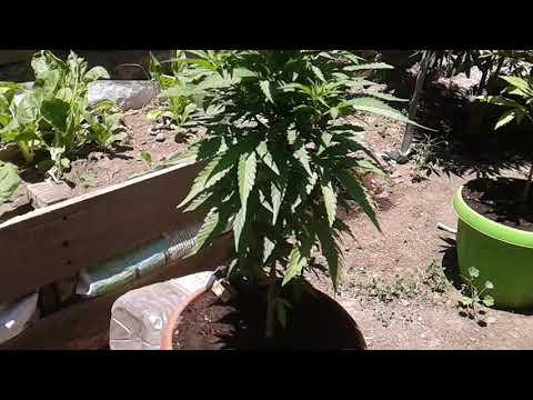 Cultivo cannabis feminizada, Y Griega, Jack Hearer y automaticas Sour diesel y Magnum