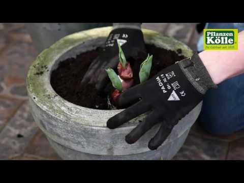 tulpen-einpflanzen-in-ein-gefäß- -pflanzen-kölle