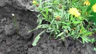 Как посадить розы из БУКЕТА черенками