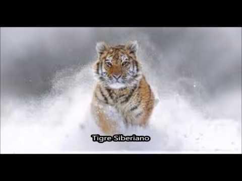 Download Tigre Siberiano (Panthera Tigris Altaica) - Lo se todo en Español