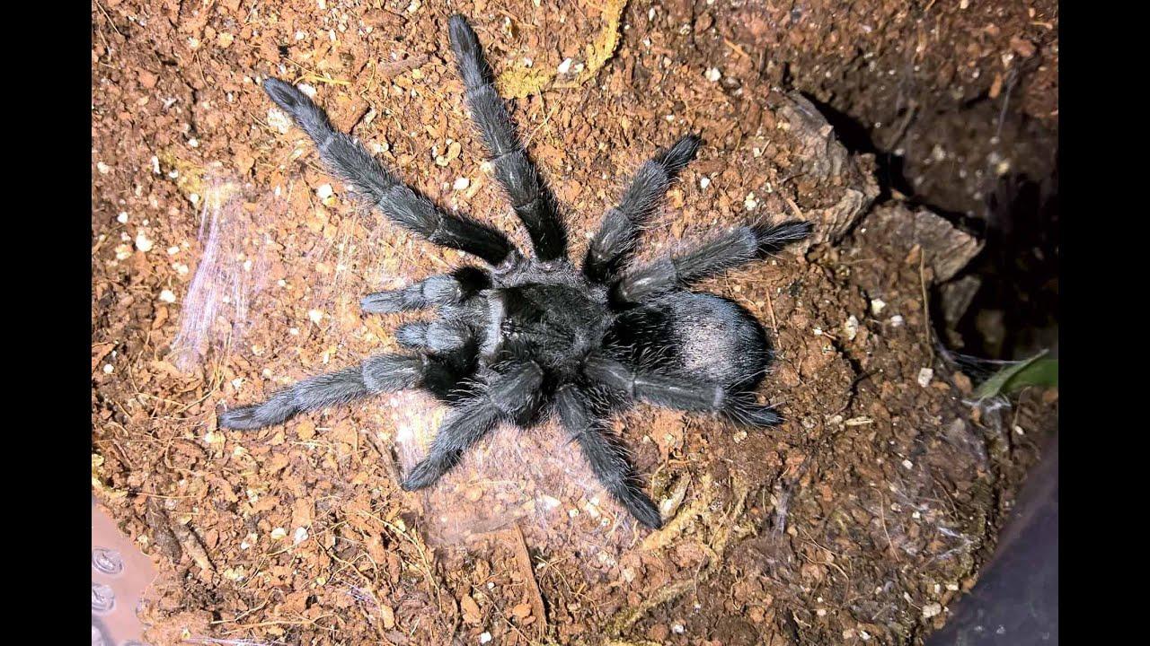 the best tarantula species