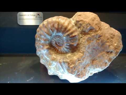 Dientes de Megalodon, Trilobites y Amonites fosilizados