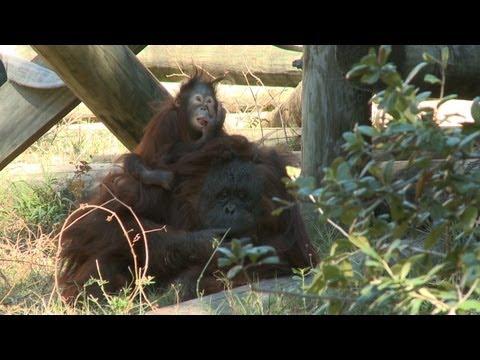 10 month old Aurora adopted by surrogate orangutan
