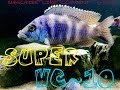SUPER CV~10 | AFRICAN CICHLID | SPECIES PROFILE