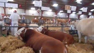 Dyrskuet i Herning - simmental tyr / bull / byk