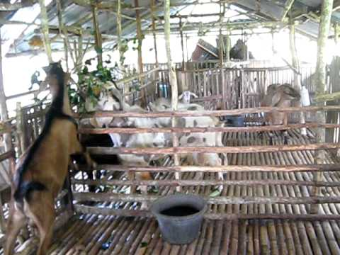 Sagbayan Goat Farm Sgf Youtube