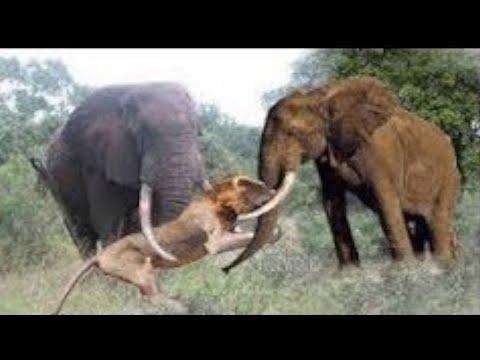 Elephant Chasing Lion vs Wild Dogs