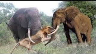 Elephant Chasing Lion vs Wild Dogs