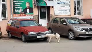 В Крыму появилась собака, которая ворует с автомобилей регистрационные номера (ВИДЕО)