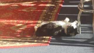 ザブザブとカーペットの上を背泳ぎする猫、日光浴も同時にこなし