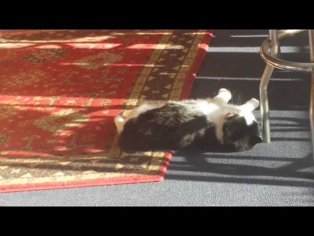 Frankie the Cat Carpet Swimming