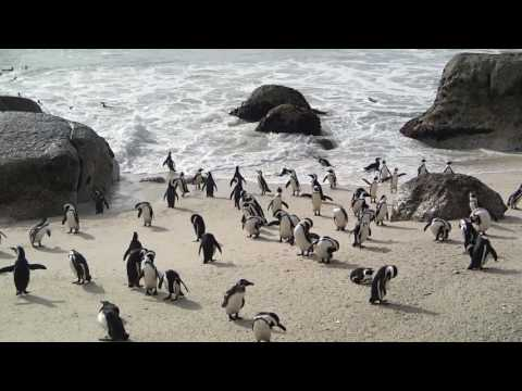 Penguins at the Beach, South Africa