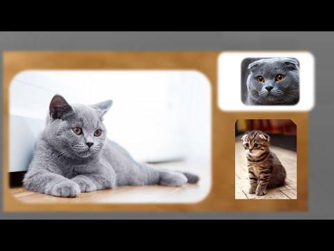 Британские вислоухие коты и особенности их строения 05 11 2014