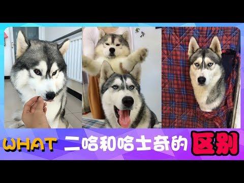 宠物联萌 | 可爱狗狗🔴二哈和哈士奇的区别?来来来,我给你演示下~😊Funny and Cute Baby Dog Videos Compilation(2018-41)