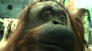 Sandra the captive orangutan wins right to freedom from Argentine zoo Thumbnail