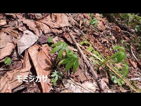 2017年 山菜採り モミジガサと天然わさび