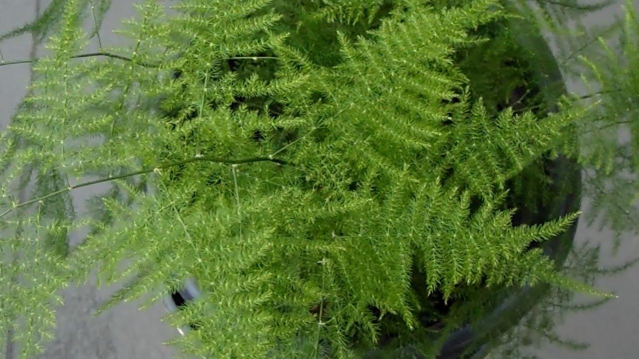 Esp rrago o helecho plumoso youtube for Planta ornamental helecho nombre cientifico