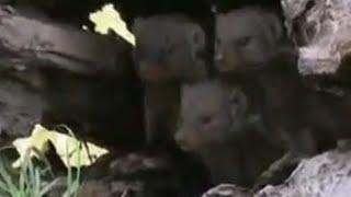 Mongoose family surrouned by lion pride - BBC wildlife