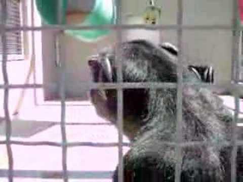 Chimpanzee Talking