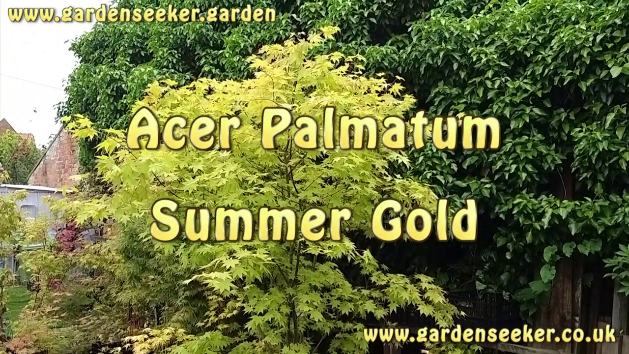 Acer Palmatum Summer Gold Youtube