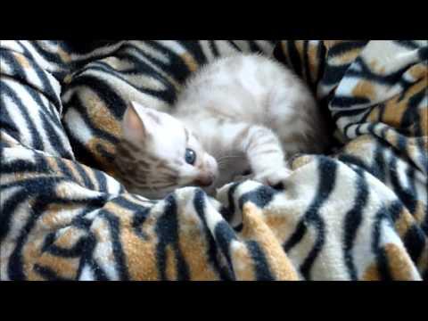Meet the Airashii Bengals. Bengal kitten in action..