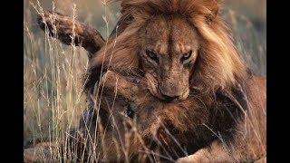 【衝撃映像 動物】ライオン・ワニの狩りの様子が凄すぎる!!圧巻です.