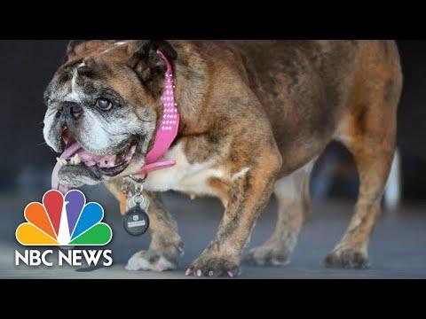 English Bulldog Zsa Zsa Wins World's Ugliest Dog Competition In California | NBC News