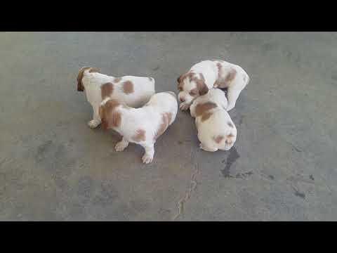 PuppyFinder.com : Puppies at 3 weeks