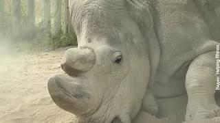 В Кении умер последний в мире самец северного белого носорога | InfoResist