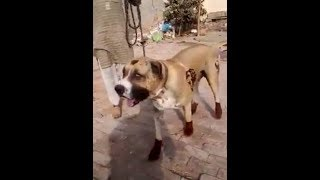 BETTAL BULLY KUTTA BULLY DOG READY FOR FIGHT