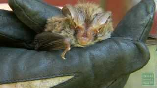 Rafinesque's Big-Eared Bat Colony - Texas Parks and Wildlife [Official] thumbnail