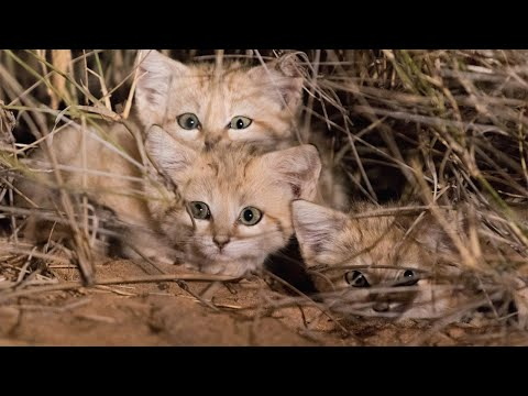 Adorable Rare Wide-Eyed Sand Cat Kittens Caught On Video for First Time Ever